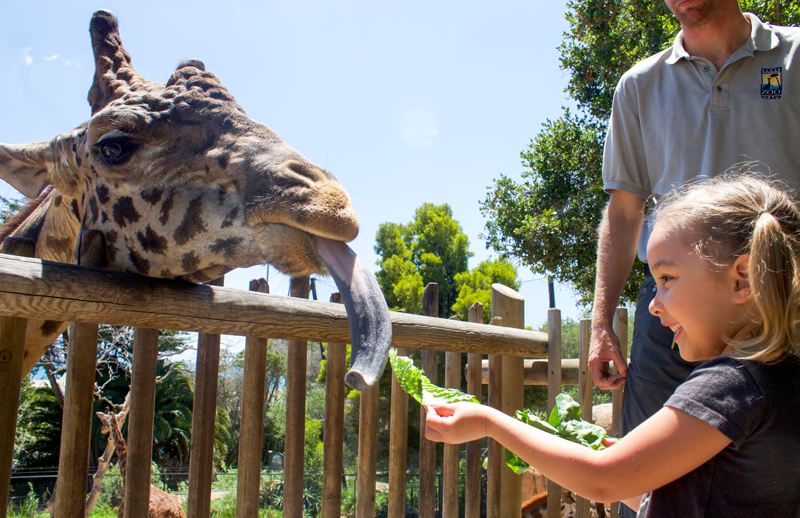 Copy Cat Chic 36 hrs in Santa Barbara California vegan designer travel guide | Feeding Giraffes at the Santa Barbara Zoo